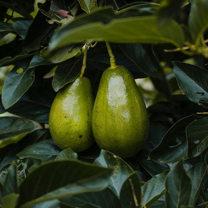 Avocado Boom Baak Detailhandel