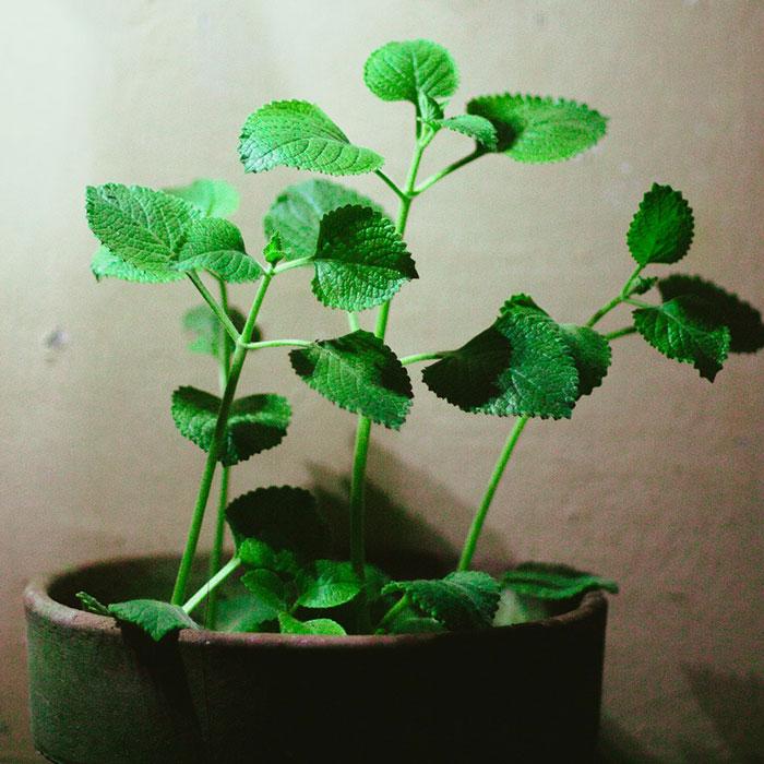 Oregano Plant Baak Detailhandel