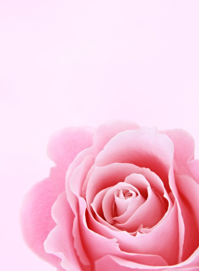 Pink Rose Closeup Photography 1231265