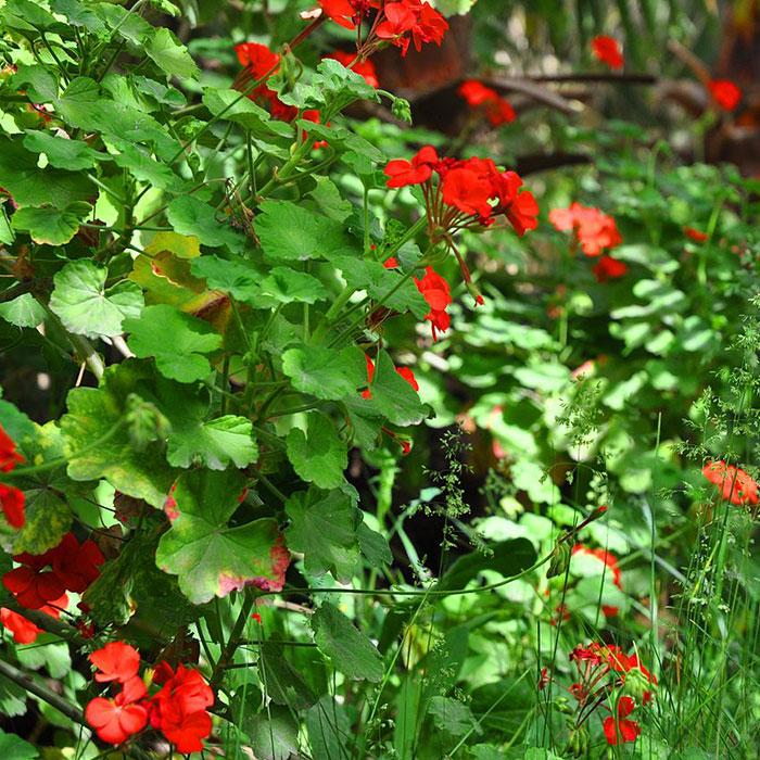 Rode Geraniums Baak Detailhandel