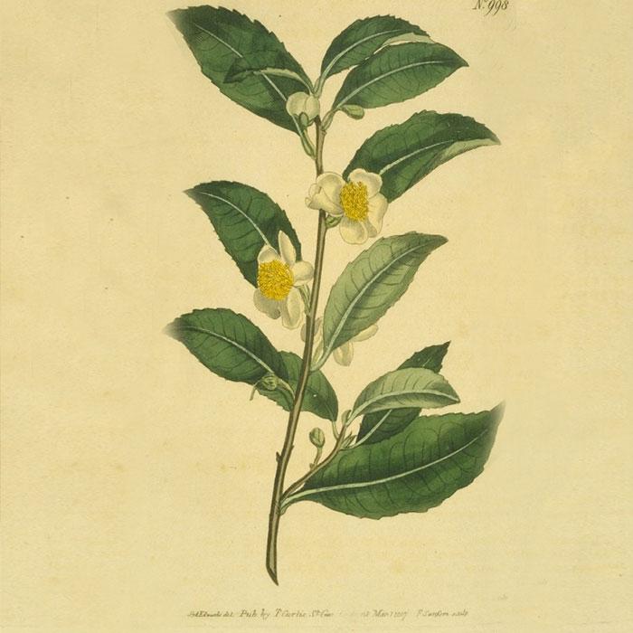 Tea Tree Jacob Hooy Baak Detailhandel